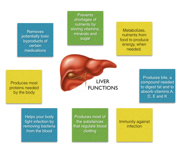 Functions Of The Liver Imjustanotherstudent